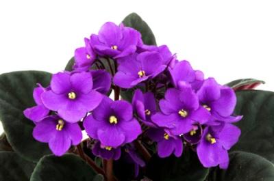 แอฟริกันไวโอเล็ต อัฟริกันไวโอเล็ต African Violet ต้นไม้บนคอนโด ต้นไม้ในบ้าน