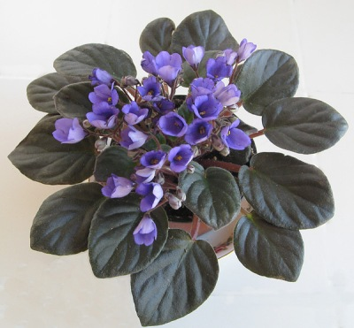 african violet bell