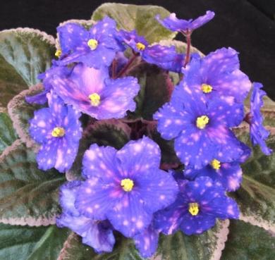 african violet mosec